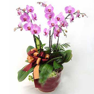 5 Stems Butterfly Orchids