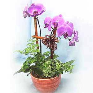 Orchids Delivery China