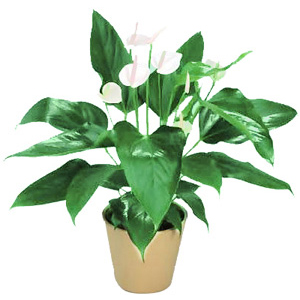 Peace Lilies Potted